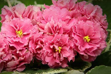 Beautiful Saintpaulia or Uzumbar violet. Pink indoor flowers close-up. Natural floral background.
