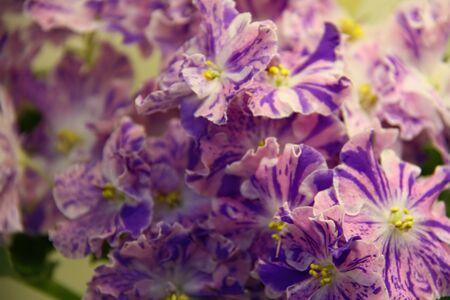 Beautiful Saintpaulia or Uzumbar violet. Purple indoor flowers close-up. Natural floral background.
