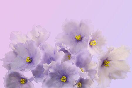 Fleurs de printemps. Superbes violettes blanc-violet sur fond dégradé. Espace libre pour votre texte.