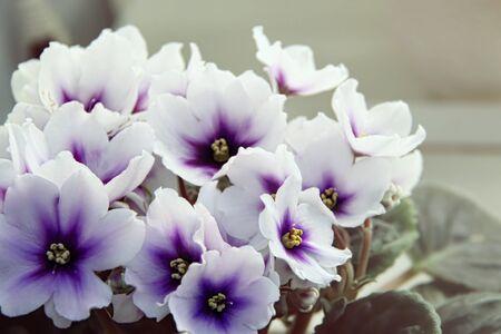 Belle violette de Saintpaulia ou d'Uzumbar. Gros plan de fleurs d'intérieur blanches. Fond floral naturel.