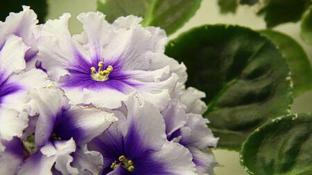 Beautiful Saintpaulia or Uzumbar violet. White indoor flowers close-up. Natural floral background.