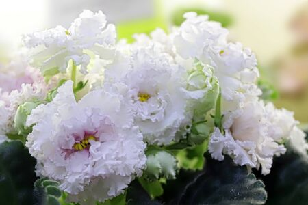 Beautiful Saintpaulia or Uzumbar violet. White indoor flowers close-up. Natural floral background for happy birthday, mother's day, women's day, anniversary, wedding invitation