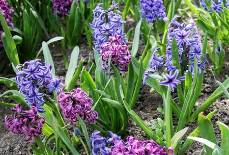 Group of beautiful multicolored hyacinths. Early spring hyacint plant as background or card for womens or mothers day