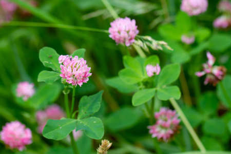 Close up of pink wild clover flowers on a green soft blurry background. Poster with summer or spring meadow flowers