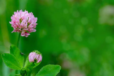 Close up of pink wild clover flowers on a green soft blurry background. Poster for St. Patrick's Day celebration with copy space.