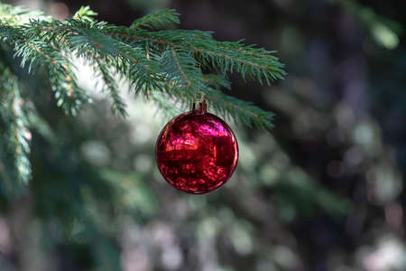 red Christmas balls with reflection decorate the green branches of the Christmas tree. Winter holidays. Xmas theme with space for text