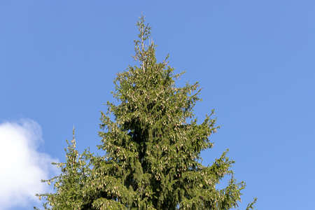The tip top of a Spruce tree with a lot of cones against a blue sky. Stock fotó