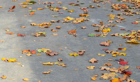yellow leaves on gray asphalt, background of fallen leaves
