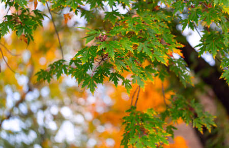 Maple green leaves with yellow veins in the autumn park. Selective focus 스톡 콘텐츠