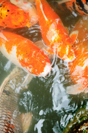 Koi or Japanese carp coming up to the surface in a rush for food photo