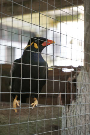 tame: hill myna in a cage
