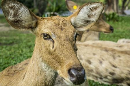 l natural: deer Cervidae laydown sleeping Stock Photo