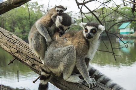 monkies: lemur white black, brown madagaskar