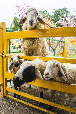 peek: sheep peek out over the fence waiting for food Stock Photo