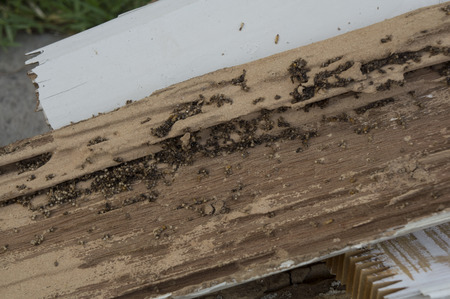 pests: termite damage rotten wood eat nest destroy Stock Photo