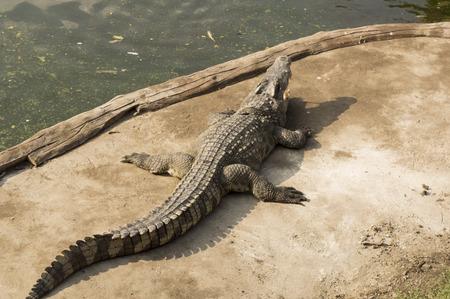 bite: crocodile hunting aggressive bite head alligator Stock Photo