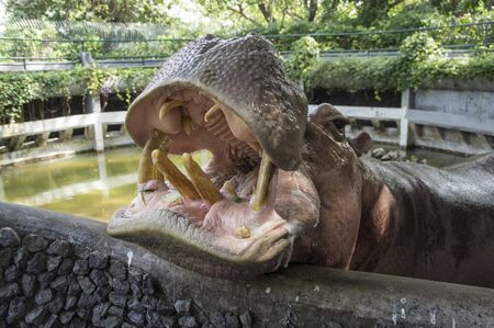 big hippo mammal feeding Stock Photo