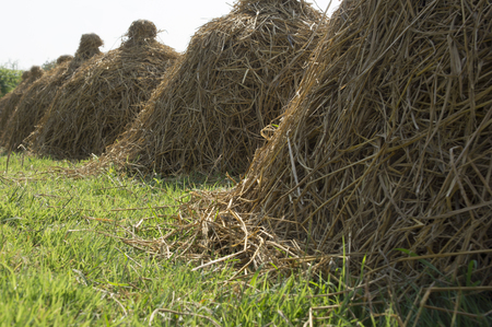 farm land: dry hay stack in farm land