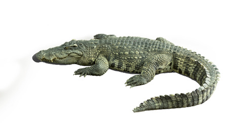 crocodile bite animal jaw teeth water Stock Photo