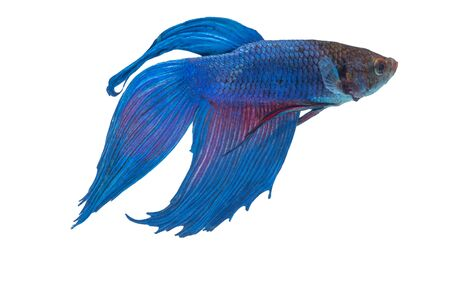 the Photo of Beautiful moving moment  of siam blue  Betta fish in Thailand on White Background. 免版税图像