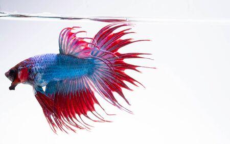 Agresywny moment Bojownika syjamskiego Red Blue Crowntail lub Betta Splendens na białym tle Zdjęcie Seryjne