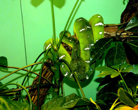 tropische groene slang op een groene achtergrond Stockfoto