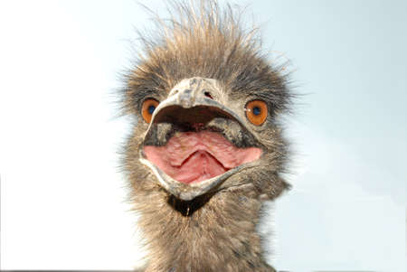 close up of an emus face with mouth open