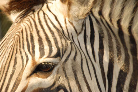 close up on a zebras face and eye