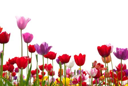blue tulip: Red, pink, yellow, white, and purple tulips rise up against a white background. Stock Photo