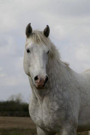 lipizzan horse: Dressage horse