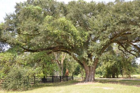 Country Live Oak Stock fotó