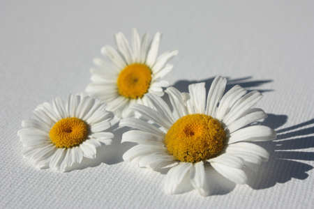 Three white daisies with yellow centers on a light gray canvas textured background with cast shadows  Stock Photo