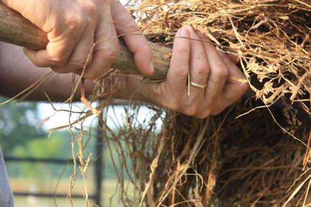 Farmer s hands lifting hay on a farm Stock Photo