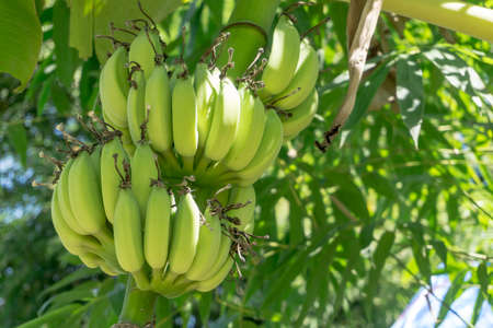 banana: Green Unripe banana on banana tree