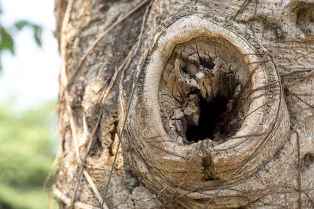 buch: Detail of Ficus lacor tree bark Stock Photo