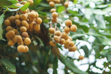 orchards: Longan orchards on green tree