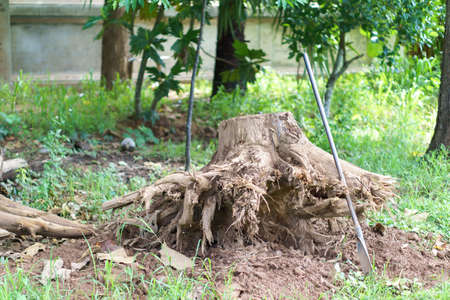 Shovel and the dead tree root