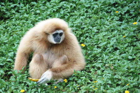 White Handed Gibbon in the park