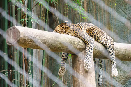 spotted fur: Leopard in the zoo of Thailand