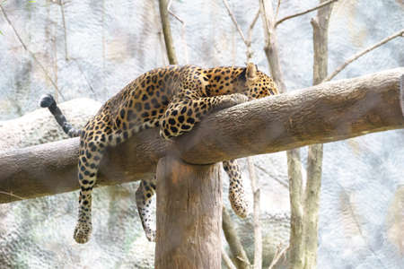 laze: Leopard in the zoo of Thailand