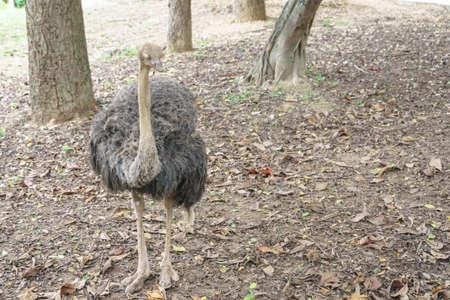 emu: Emu de aves en el zoológico