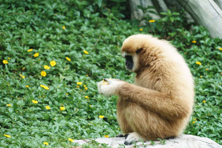 biped: White Handed Gibbon in the park