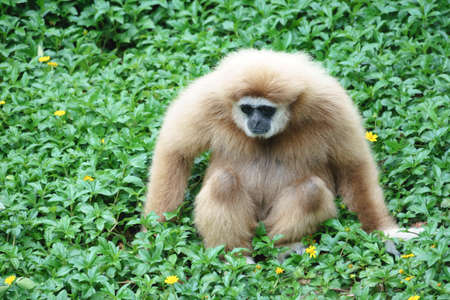 handed: White Handed Gibbon in the park