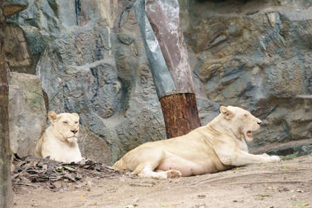 White lions in the zoo of Thailand
