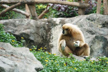handed gibbon: White Handed Gibbon in the park