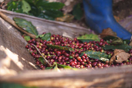 A farmer hand picking ripe and raw coffee berries on coffee tree branch 版權商用圖片 - 72188866