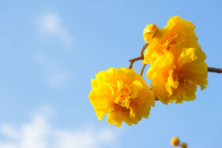 Yellow silk cotton with blue sky, Cochlospermum regium