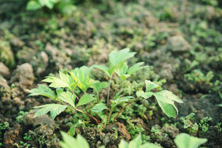 Mugwort plant field (Artemisia vulgare) green and flesh variegated leaves