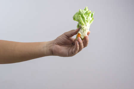 Hand holding vegetable hydroponics veget salad roll with crab stick on white background