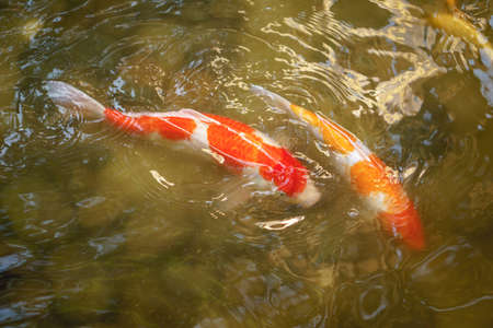Japanese Koi Carp swimming in the shallow water pond while keeping mantainence Stock Photo